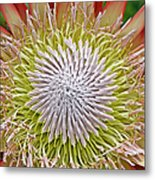 King Protea Flower Macro Metal Print