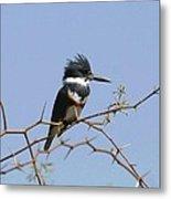 Kingfisher On Mesquite Tree Metal Print
