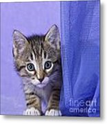 Kitten With A Curtain Metal Print