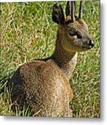 Klipspringer Antelope Metal Print