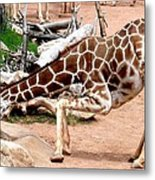 Kneeling Giraffe Metal Print