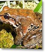 Knudsen Thin Toed Frog Metal Print