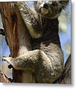 Koala Metal Print by Bob Christopher