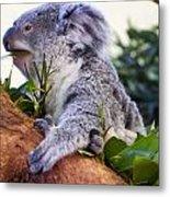 Koala Eating In A Tree Metal Print