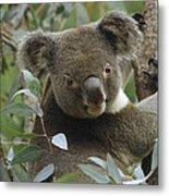 Koala Male In Eucalyptus Australia Metal Print