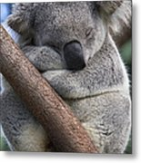 Koala Male Sleeping Australia Metal Print