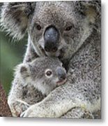Koala Mother Holding Joey Australia Metal Print
