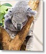 Koala Sleeping  Metal Print