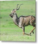 Kudu Bull Running Across Open Veld Metal Print