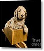 Labradoodle Puppy In A Wheelbarrow Metal Print