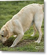 Labrador Checking Hole Metal Print