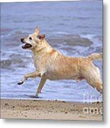 Labrador Cross Dog Running Metal Print by Geoff du Feu