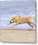 Labrador Dog Chasing Ball On Beach Metal Print