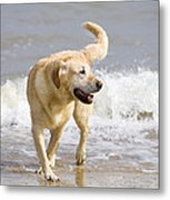 Labrador Dog Playing On Beach Metal Print