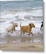 Labrador Dogs Running Metal Print