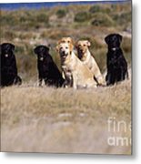 Labrador Dogs Waiting For Orders Metal Print by Chris Harvey