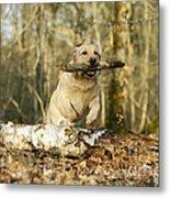 Labrador Jumping With Stick Metal Print