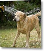 Labrador Playing In Water Metal Print