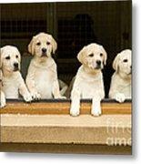 Labrador Puppies At Window Metal Print
