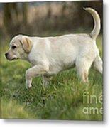Labrador Puppy Metal Print