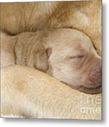 Labrador Puppy On Mother Metal Print
