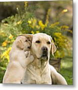 Labrador Puppy Playing With Parent Metal Print