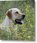 Labrador Retriever Dog Metal Print