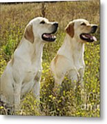 Labrador Retriever Dogs Metal Print