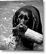 Labrador Retriever Metal Print by Emily Bemelmans