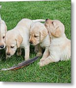 Labrador Retriever Puppies And Feather Metal Print