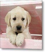 Labrador Retriever Puppy Metal Print
