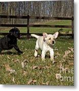 Labrador Retriever Pups Metal Print by Linda Freshwaters Arndt