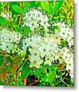 Labrador Tea In Sawtooth National Recreation Area-idaho  Metal Print