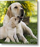 Labrador With Puppy Metal Print