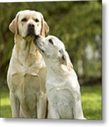 Labradors, Adult And Young Metal Print