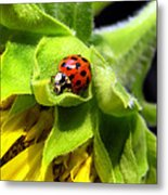 Ladybug And Sunflower Metal Print