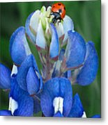 Lady Bug And Bluebonnet Metal Print