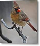 Lady Cardinal Metal Print by Skip Willits