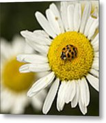 Lady Of The Daisy Metal Print
