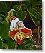 Lady Slipper Orchid Metal Print