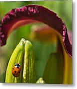 Ladybird Beetle Cuddled By Lily Blossom 4 Metal Print