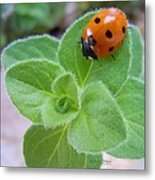 Ladybug And Oregano Metal Print