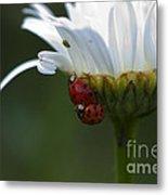 Ladybugs On Shasta Daisy Metal Print