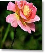 Lafter Tea Rose 8995 Metal Print