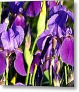 Lake Country Irises Metal Print