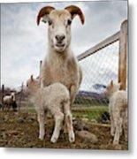 Lamb On A Farm, Iceland Metal Print