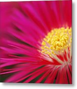 Lampranthus Abstract Metal Print