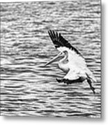 Landing Pelican In Black And White Metal Print