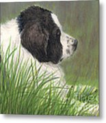 Landseer Newfoundland Dog In Grass Pets Animal Art Metal Print