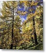 Larch Pines Metal Print